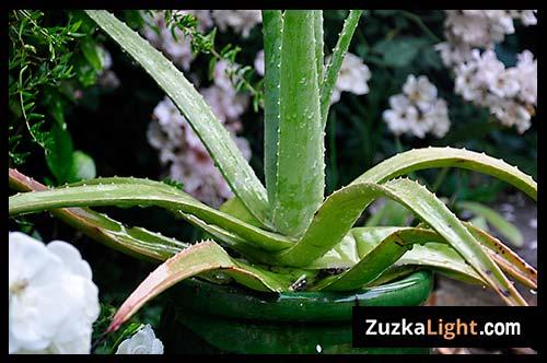 Aloe_Flowers